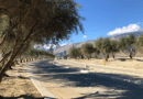 Olive Groves Planted at Palm Springs Agrihood